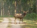 Sambar Deer male. Cervus unicolor.jpg