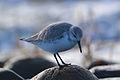 Sanderling (Calidris alba) (16146864539).jpg