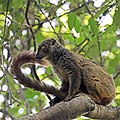 Sanford's brown lemur (Eulemur sanfordi) female.jpg