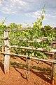 Sangiovese vine in Virgina.jpg