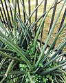 Sansevieria - Arusha botanical gardens.jpg