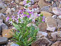 Saponaria officinalis Habitus 2011-7-31 SierraMadrona.jpg