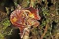Satanic leaf-tailed gecko (Uroplatus phantasticus) Ranomafana 1.jpg