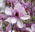 Saucer Magnolia -- Magnolia × soulangeana.jpg