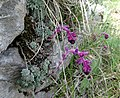 Saxifraga sempervivum, Saxifragaceae.jpg