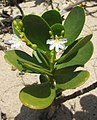 Scaevola plumieri - the plant (6867281569).jpg