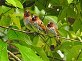 Scaly breasted munia -kannur@kattampally birds - 8.jpg