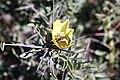 Scelophysa sp. (Scarabaeidae- Melolonthinae-Rutelinae- Hopliini) on Monsonia spinosa (Geraniaceae) (37406516722).jpg