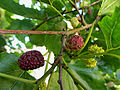 Schildau Maulbeerbaum Fruechte rot.jpg