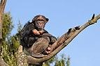 Schimpanse, Pan troglodytes 3.JPG