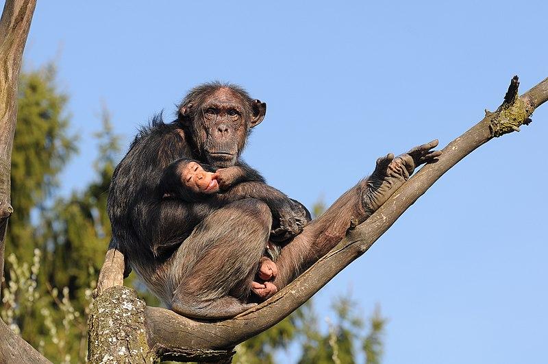 جفت گیری شامپانزه عجایب در دنیای جانوران - ((شامپانزه))