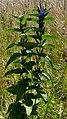 Schwalbenwurz-Enzian (Gentiana asclepiadea) auf dem Brocken 01.jpg