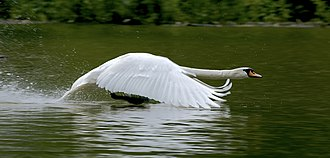 Swan - Mute swan landing on water. Due to the size and weight of most swans, large areas of open land or water are required to successfully take off and land.