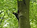 Schwarzspecht (Dryocopus martius), Staatswald Rocherath, Ostbelgien (3945442590).jpg
