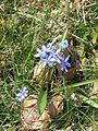 Scilla bifolia-Salzburg, Flachgau, Eugendorf-bE-HdN-1472a.jpg