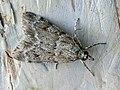Scoparia subfusca (40137633944).jpg