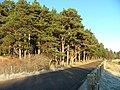 Scots Pine - geograph.org.uk - 300075.jpg