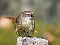 Scrub wren female Vocalising444.jpg
