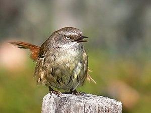 Scrub wren female Vocalising444.jpg