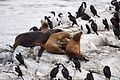 Sea Lions & Imperial Cormorants (4302376351).jpg