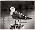 Seagull at Tilghman Island (11889123854).jpg