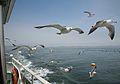 Seagulls at Matsushima (松島) (3804031040).jpg