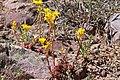 Sedum lanceolatum - Flickr - andrey zharkikh.jpg