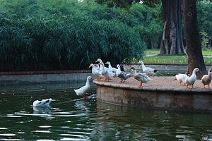 Semmozhi Poonga - Ducks swimming in the pond