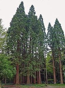 Sequoiafarm Sequoiadendron giganteum.jpg