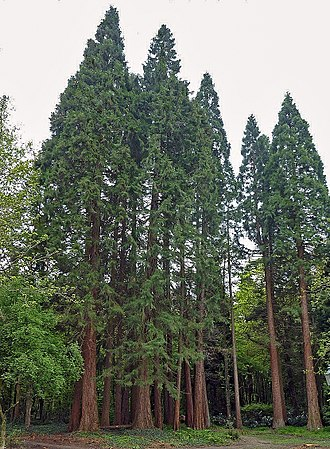 Maas-Schwalm-Nette Nature Park - Giant sequoias in the Sequoia Farm