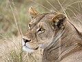 Serengeti Loewin.jpg