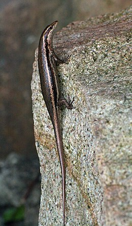 Trachylepis seychellensis