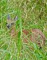Sharpe's Grysbok (Raphicerus sharpei) female hidden in the grass ... (50858111448).jpg