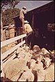 Sheep Being Herded Into Loading Pens on a Ranch in the Leakey, Texas, Area near San Antonio 05-1973 (3703576337).jpg