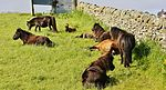 Shetland ponies sheltering from a cool northerly wind in Grutness.jpg