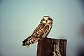 Short-eared Owl (Asio flammeus) (2587667198).jpg
