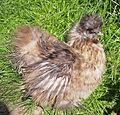 Silky chicken.jpg