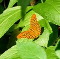 Silver -washed Fritillary - Flickr - gailhampshire.jpg