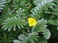 Silverweed - Potentilla anserina - geograph.org.uk - 1284156.jpg