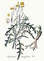 Sisymbrium tenuifolium — Flora Batava — Volume v4.jpg