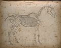 Skeleton of a horse; outline diagram Wellcome V0008070.jpg