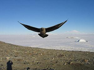 Skua - Skua in Antarctica
