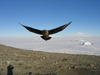 Cierva Point and offshore islands Important Bird Area - The IBA is an important breeding site for south polar skuas