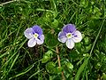 Slender Speedwell (Veronica filiformis).jpg