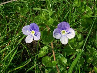 <i>Veronica filiformis</i> Species of flowering plant in the family Plantaginaceae
