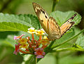 Small Salmon Arab (Colotis amata) on Lantana species W IMG 1476.jpg