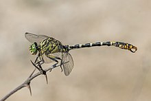 Small pincertail (Onychogomphus forcipatus) male Bulgaria.jpg