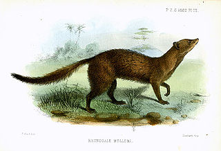 Mellers mongoose species of mammal