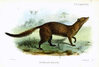 Meller's mongoose - Image: Smit.m.rhinogale.mel leri