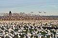 Snow geese - Fir Island - 09.jpg